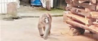两只猕猴游荡鄂州半年频扰民 警方出警百余次都没抓住