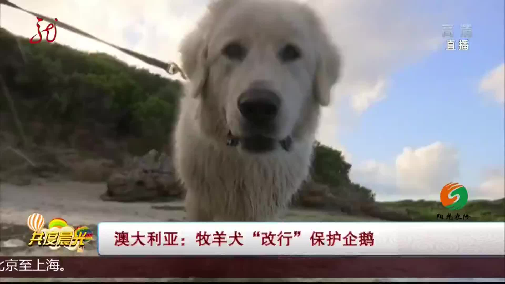"""牧羊犬""""改行""""保护企鹅"""