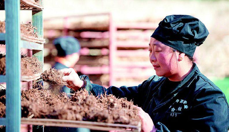 保康:种植药材脱贫增收