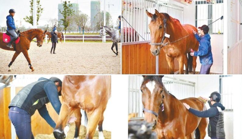 军运会赛马调训团队厉兵秣马 每匹马都有专业按摩师