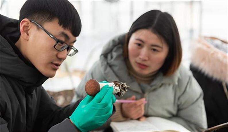 华农师生在冬闲田里栽培珍稀菌