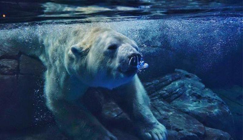 俄罗斯北极熊落户武汉为游客送祝福