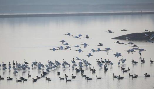 湖北记录到越冬水鸟78种 种群数量逾42万只