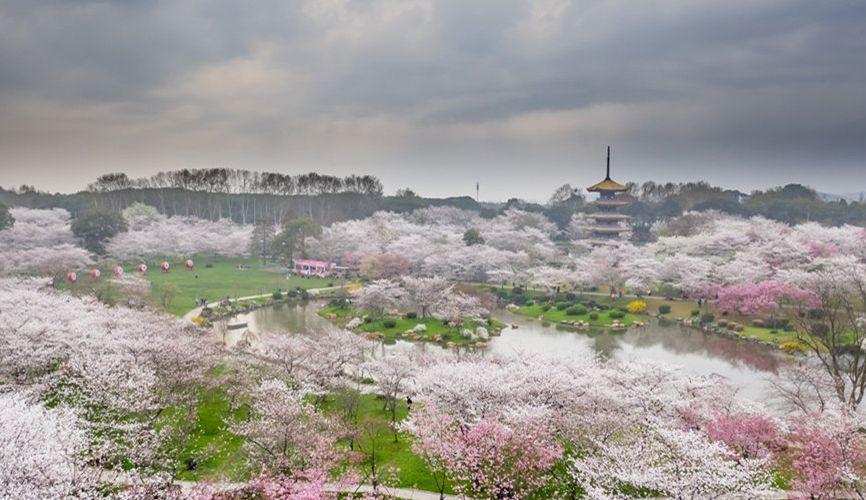 航拍武汉东湖万株樱花齐放 如粉红色海洋