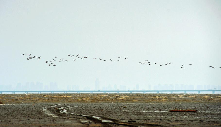 山东青岛候鸟迁徙过境胶州湾 成壮观过境潮