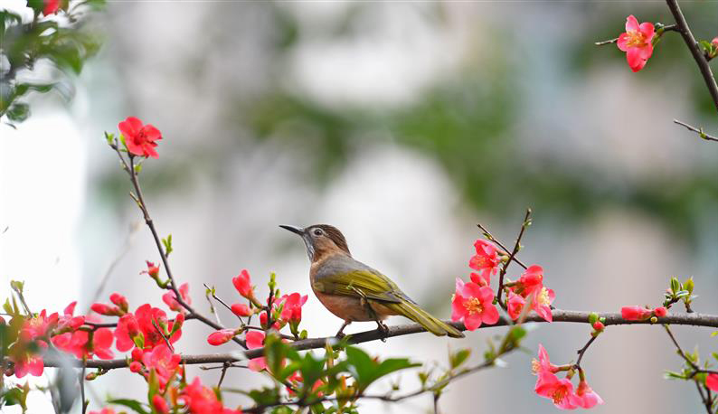 湖北夷陵:鳥戲海棠花叢間