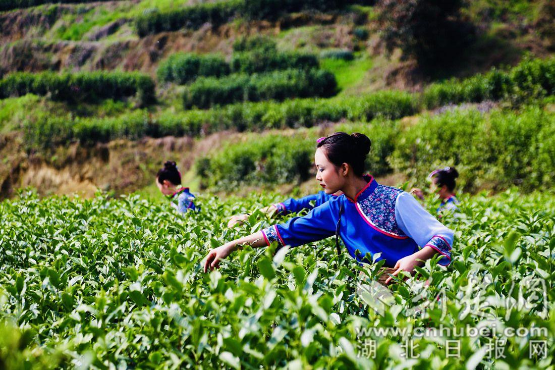 屈原故里秭歸春茶開園