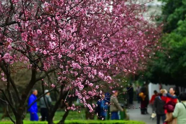 去年全市栽种110万余株花灌木 武汉从四季常青到四季有花