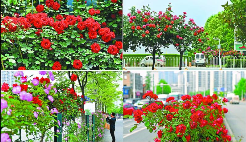 太美了!百万株月季飘香武汉街头