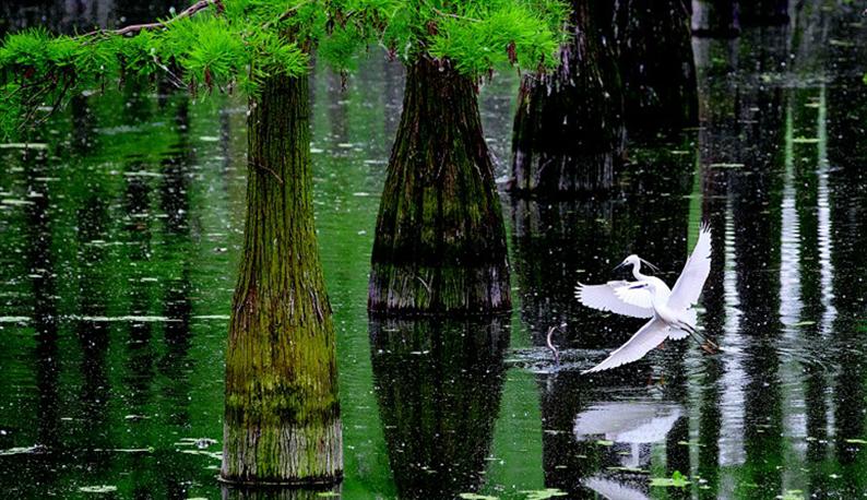 武汉涨渡湖生物净化改善林下水质