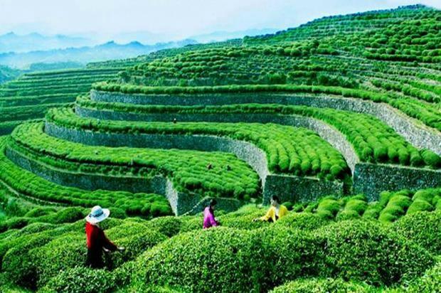 中国英山茶文化旅游节