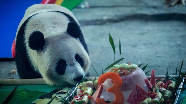 """武汉动物园大熊猫""""胖妞""""迎来3岁生日"""