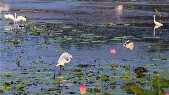 梁子湖畔群鸟翔集