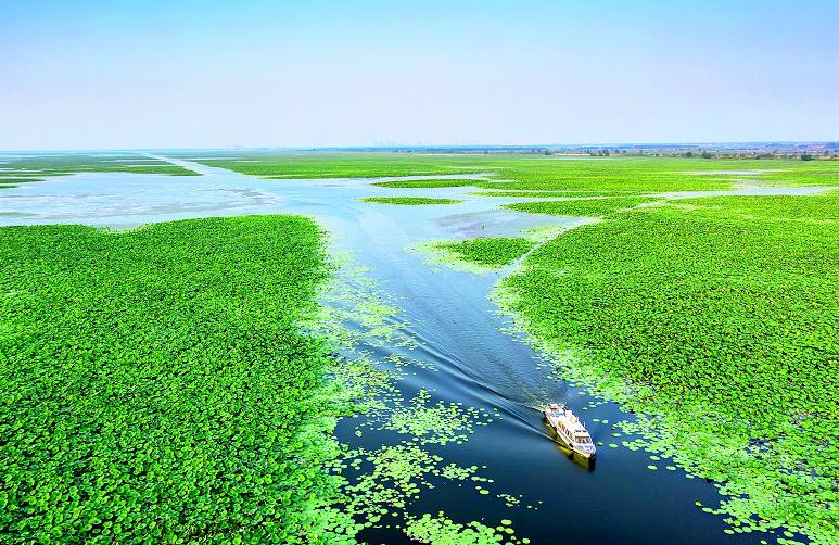 """十万亩野莲重现洪湖 呈现""""接天莲叶无穷碧""""的美景"""