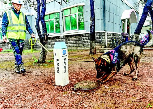"""""""武汉首只天然气嗅探犬上岗 闻到漏气会刨挖地面示警"""