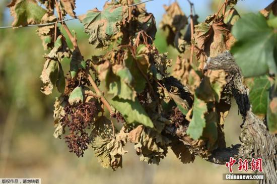 """""""霜冻、酷暑影响 法国2019年葡萄酒产量或下跌14%"""