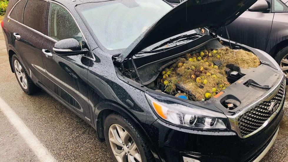 """""""松鼠的""""杰作"""":美国车主掀开引擎盖发现几百颗核桃"""