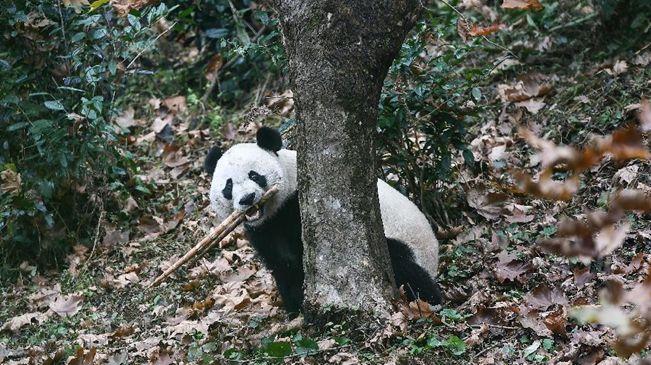 """旅美大熊貓""""貝貝""""回到四川"""