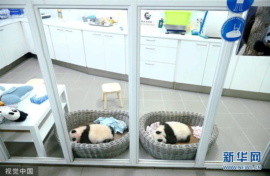 比利时新生双胞胎大熊猫宝宝亮相 憨态可掬