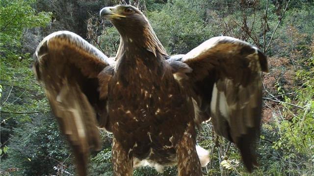 """金雕現身!神農架太陽坪生態保護中心拍到身高1米2的""""神雕"""""""