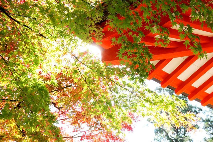 东京高尾山枫叶正红