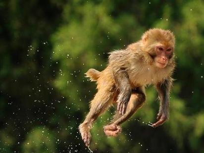 日本一动物园栅栏因台风受损 约100只猴子逍遥笼外