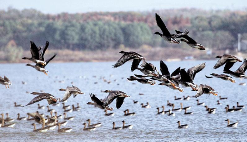 武漢安山國家濕地公園候鳥翩翩美若仙境