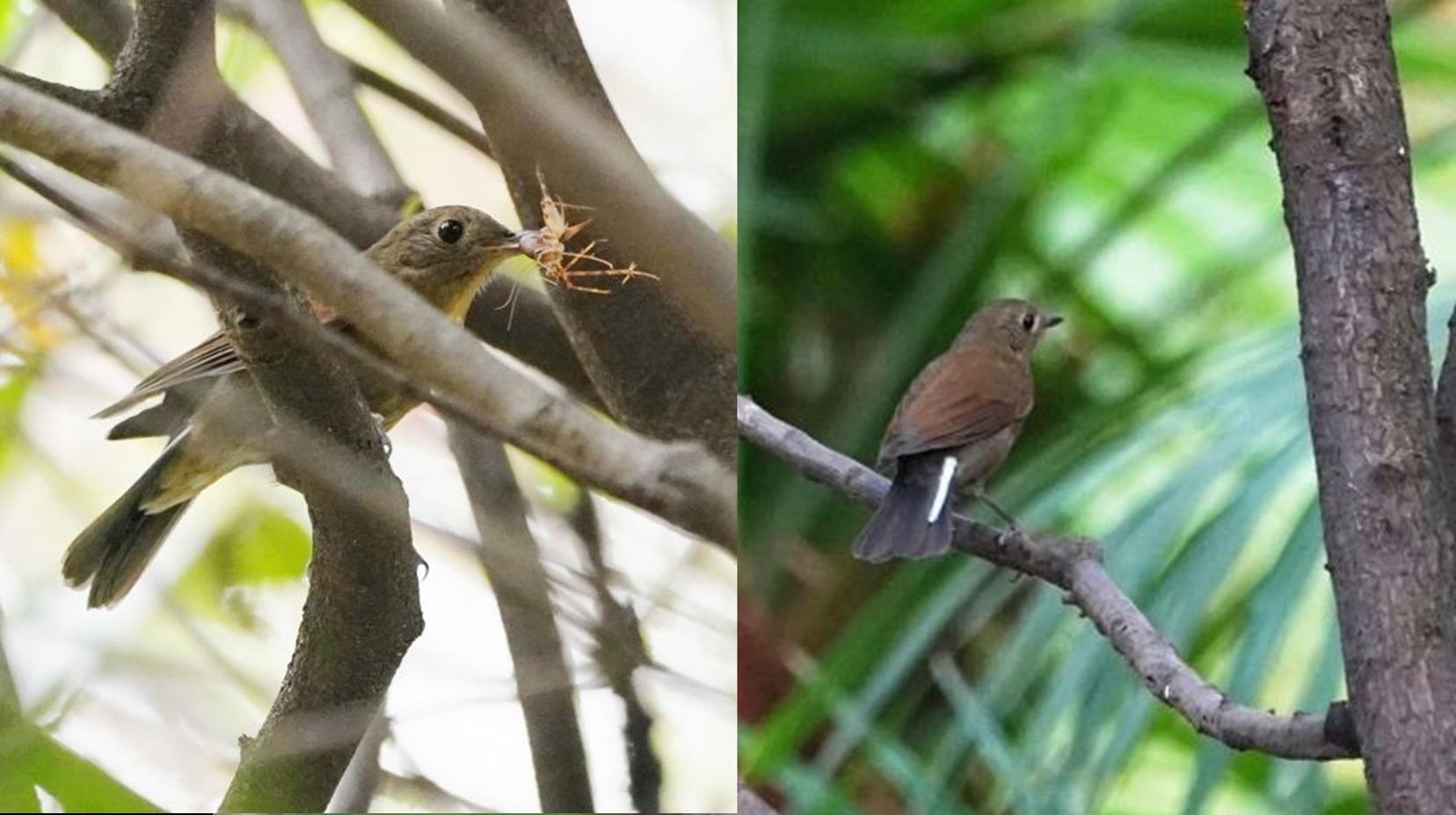白尾蓝地鸲现身解放公园,武汉地区被观察到鸟类升至第413种