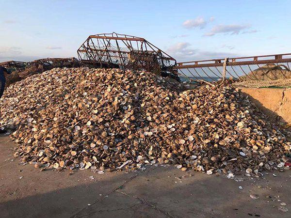獐子島員工稱采捕方法破壞海底生態:扇貝或被嗆死
