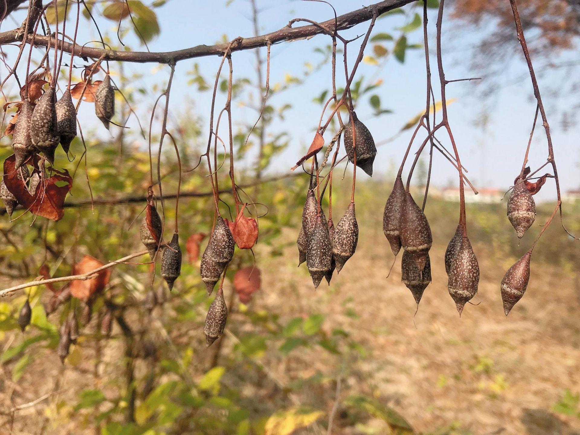世界唯一天然群落  黄梅秤锤树数量扩大一倍