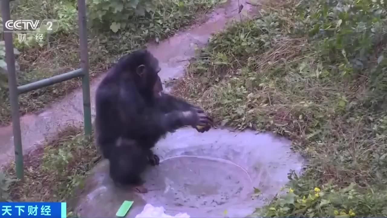那只爱洗衣服的黑猩猩还会做俯卧撑、比心,你还有什么不会?