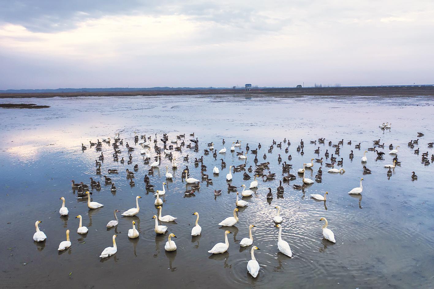 """斧头湖:冬候鸟如期而至"""""""