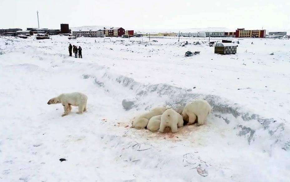 """俄罗斯:北极熊""""组团""""造访村庄"""