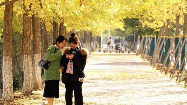 三峡大学银杏美景灿烂如画