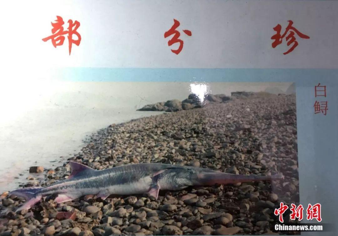 """""""中国淡水鱼之王""""长江白鲟灭绝 2003年后再没被发现"""