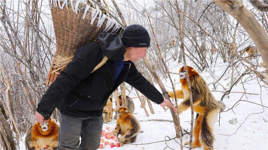 胡萝卜玉米苹果,神农架金丝猴越冬食物充足