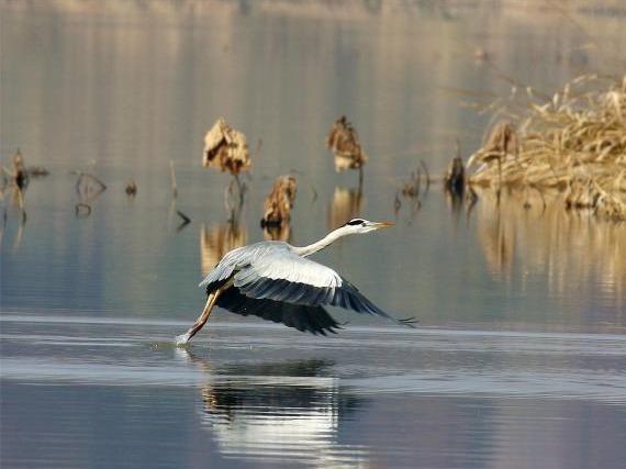 """湖北返湾湖国家湿地公园 越冬候鸟""""享""""惬意时光"""