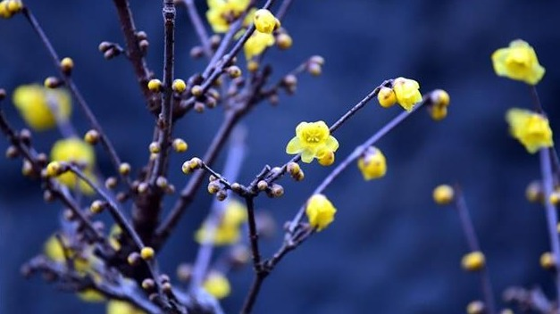 蠟梅綻放開啟武漢新一年賞花季