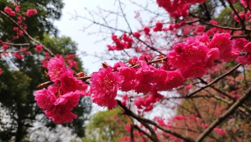 武汉大学的早樱,开了!