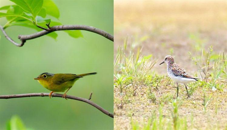 武汉鸟类名录已达415种,这种鸟去年首次在湖北被观测到