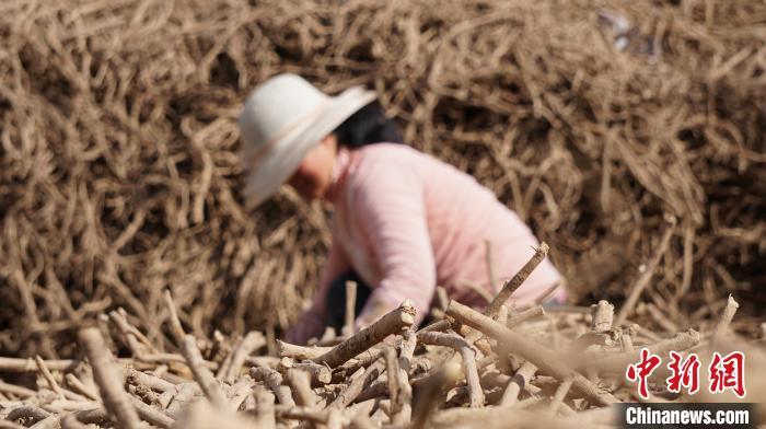中日合作研究中药材菌剂:解甘肃脱贫产业病害难题