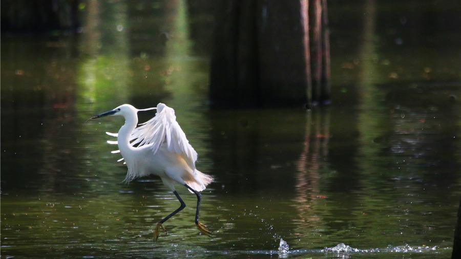 武汉涨渡湖湿地3万只夏候鸟筑巢忙