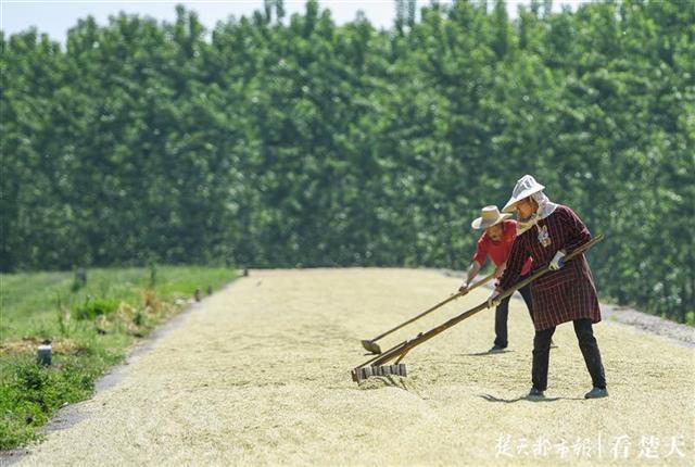 武汉新洲区麦田里收割机轰鸣,田边阳光下忙晾晒