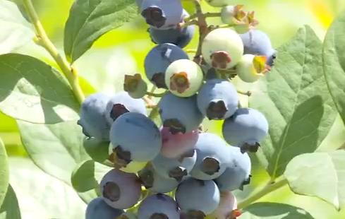 bt365官网:安陆千亩蓝莓熟了