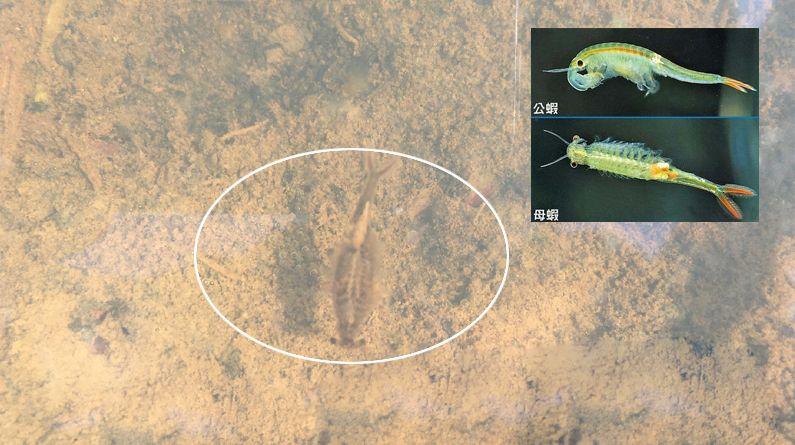 """荆州松滋疑似发现两亿年前与恐龙同时代古生物""""仙女虾"""""""