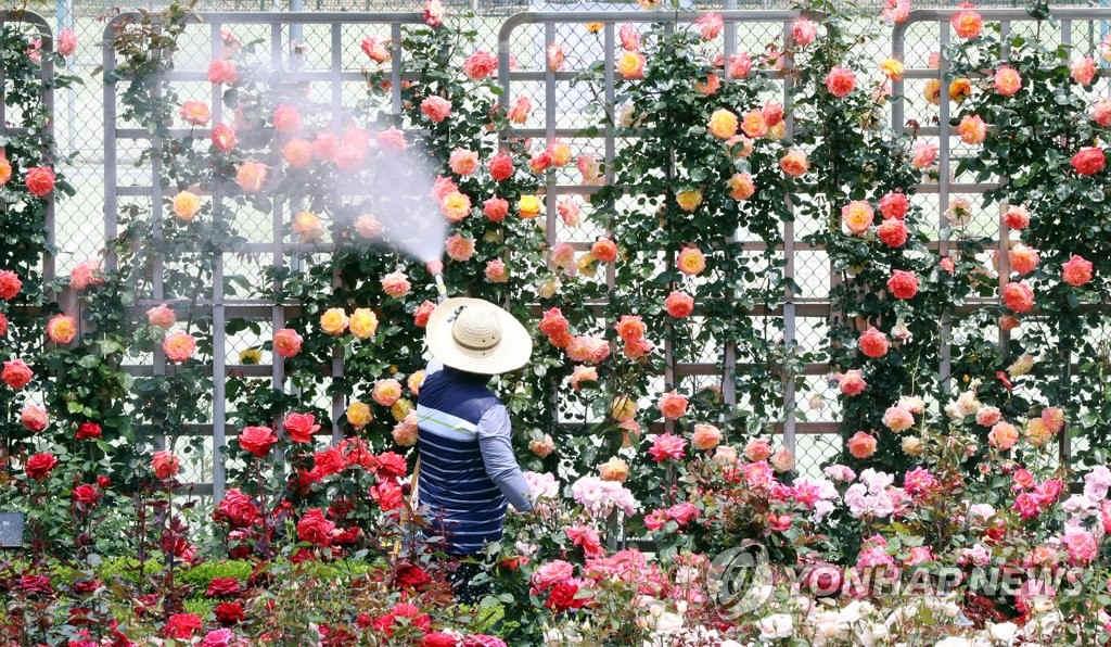 韓國大學玫瑰園景色美不勝收