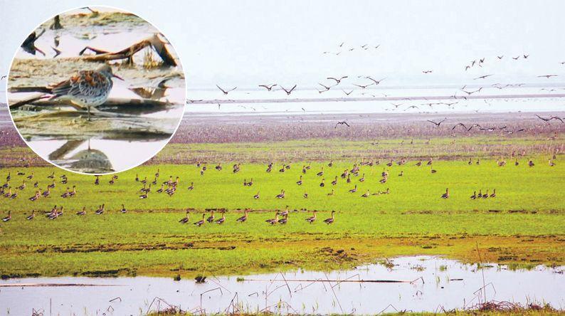 """鸟中""""大熊猫""""大滨鹬再现武汉 蔡甸沉湖湿地不断刷新鸟类记录"""