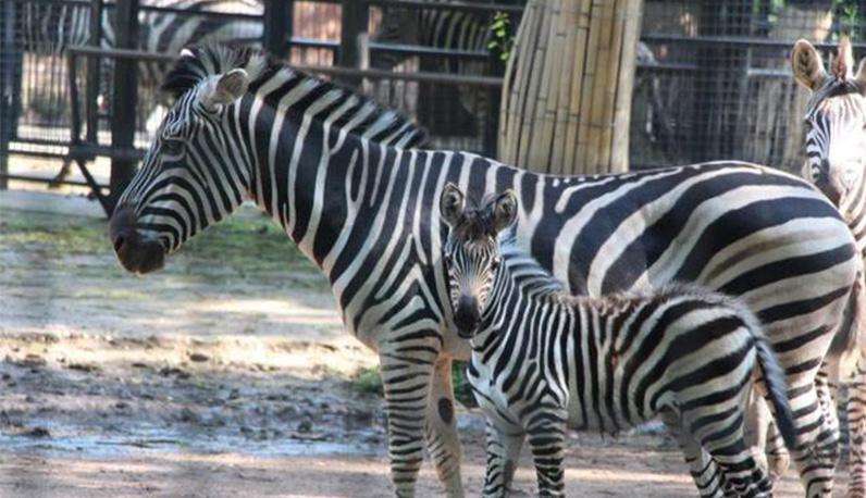 儿童节来动物园给斑马宝宝起名字吧