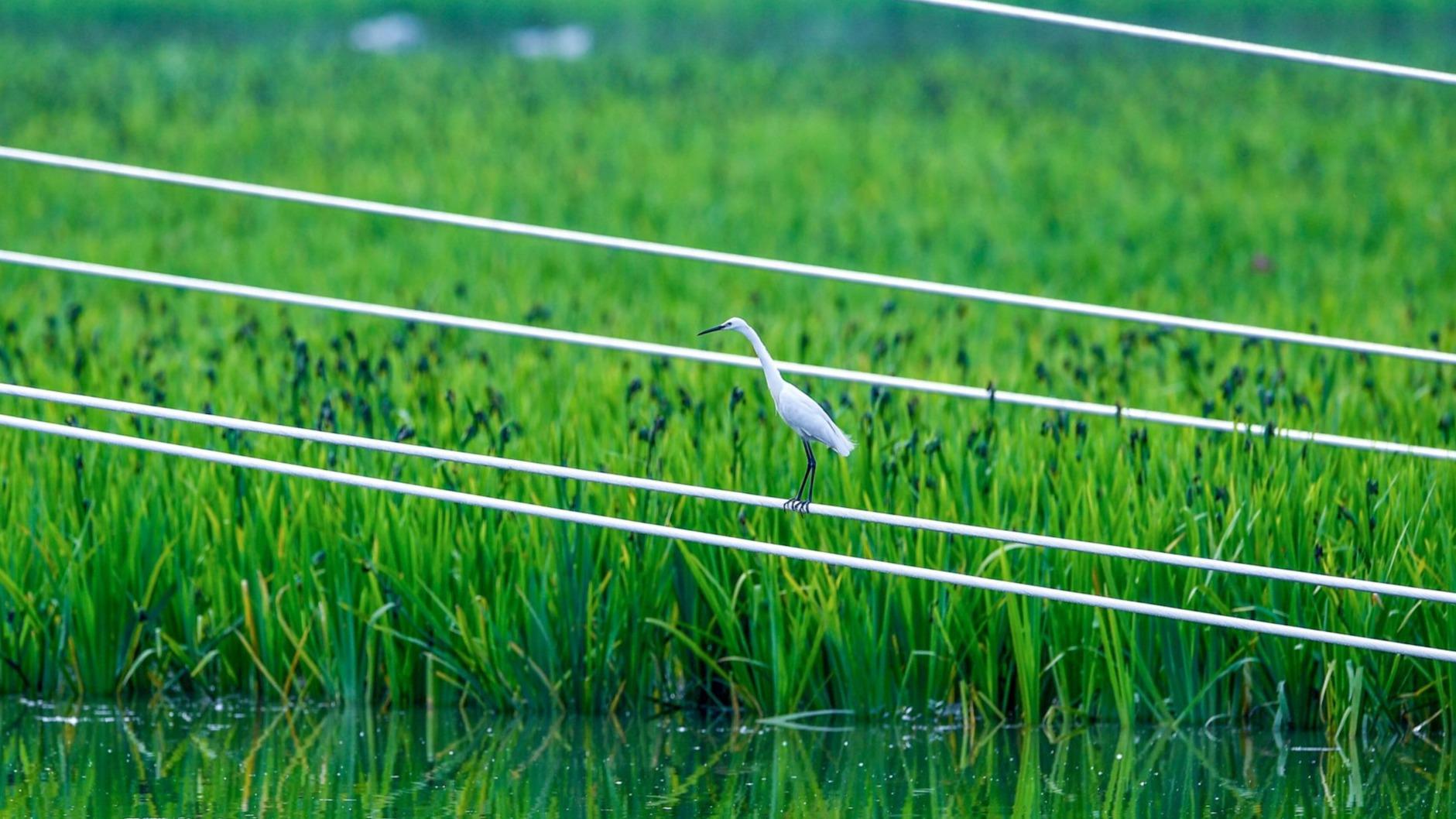 生态修复效果明显,杨春湖成了水鸟乐园