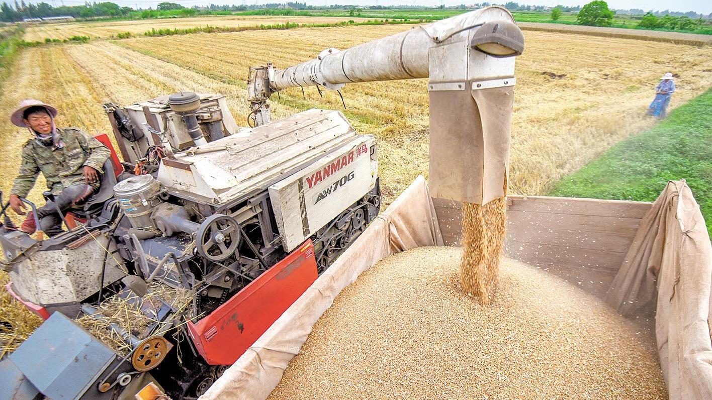 荊州夏糧收割 預計總產達51.02萬噸